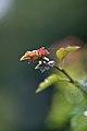 Leaves, Hawthorn - Flickr - nekonomania (1).jpg