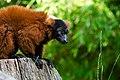 Lemur (36615008805).jpg