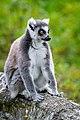 Lemur (37122828406).jpg