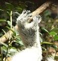 Lemur catta feet.jpg