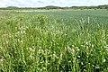 Lepidium campestre kz09.jpg