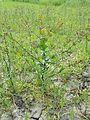 Lepidium perfoliatum sl25.jpg