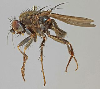 <i>Leptocera fontinalis</i> species of insect