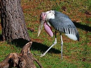 Leptoptilos - Marabou stork at Brevard Zoo, Florida, United States