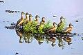 Lesser whistle ducks (8708732815).jpg
