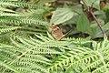 Lethe rohria, Common treebrown at Tadiyantamol (4).jpg