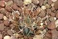 Leuchtenbergia principis 1zz.jpg