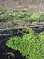Leucojum vernum + Caltha palustris sl3.jpg