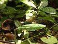 Libelle Nationalpark Tai.jpg