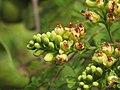 Libidibia coriaria - Divi-divi Tree - Caesalpinia coriaria - WikiSangamotsavam 2018, Kottappuram, Kodungalloor (22).jpg