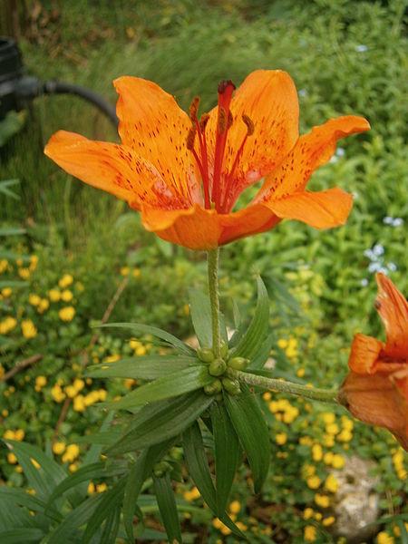 File:Lilium bulbiferum flower and bulblets2.jpg