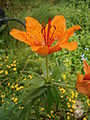 Lilium bulbiferum flower and bulblets2.jpg