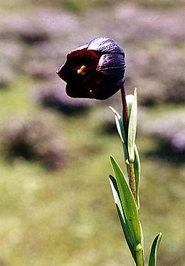Lilium souliei