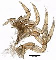 Limulus polyphemus (YPM IZ 076994) 001.jpeg