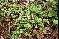 Linnaea borealis 3-eheep (5097879650).jpg