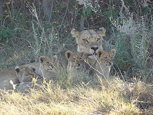 A lioness and four cubs (only two of them hers...