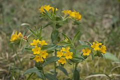 Lithospermum canescens Leatherwood Lake.jpg