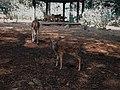 Little Spotted Deer at Ragunan Zoo.jpg