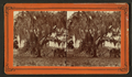 Live oaks covered with moss on the St. Johns River, near Mandarin, from Robert N. Dennis collection of stereoscopic views 2.png