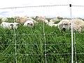Livestock BM1.JPG (38844630162).jpg