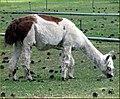 Llamas, Sisters, OR 9-1-13zzx (9880367433).jpg
