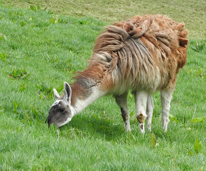 File:Llamas (33649254831).jpg