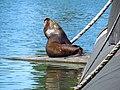 Lobo Marino descansando en Submarino, Valdivia. - panoramio.jpg