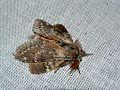 Lobster Moth (Stauropus fagi) (8336055357).jpg