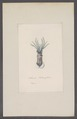 Loligo cardioptera - - Print - Iconographia Zoologica - Special Collections University of Amsterdam - UBAINV0274 090 05 0023.tif