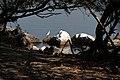 Lone Egret at the Las Piñas-Parañaque Critical Habitat and Ecotourism Area (LPPCHEA).jpg
