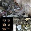 Long-tailed macaque tool use.jpg