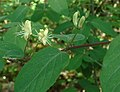 Lonicera xylosteum flowers.jpg