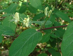 Lonicera xylosteum - Image: Lonicera xylosteum flowers