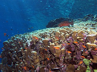 Coral hind - Image: Looking up the reef, shallow with cruising coral hind, and lots of coralline algae (6159009086)