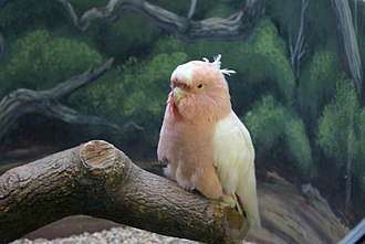 Major Mitchell's cockatoo - Cookie, a cockatoo that lived to be 83 years old, housed in the Brookfield Zoo
