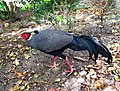 Lophura diardi -Florida, USA -captive-8a.jpg
