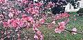 Lorategia Chaenomeles japonica loratuta.jpg