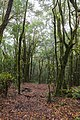 Lorbeerwald im Nationalpark Garajonay auf La Gomera, Spanien (48293704321).jpg