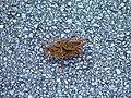 Lubber grasshoppers Everglades 010903 - panoramio.jpg