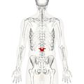 Lumbar vertebra 2 posterior.png