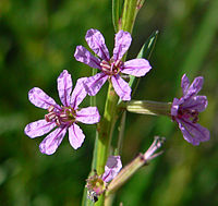 Lythrum californicum 4