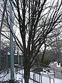 MP-carpinus betulus 2.jpg