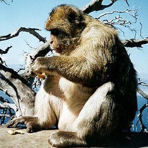 Wildlife of Morocco - Barbary macaque