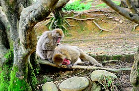 Macaques in Sagano.jpg