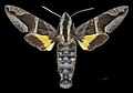 Macroglossum mitchellii imperator MHNT CUT 2010 0 203 Chiang Mai Thailand male dorsal.jpg