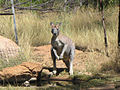 Macropus antilopinus.jpg