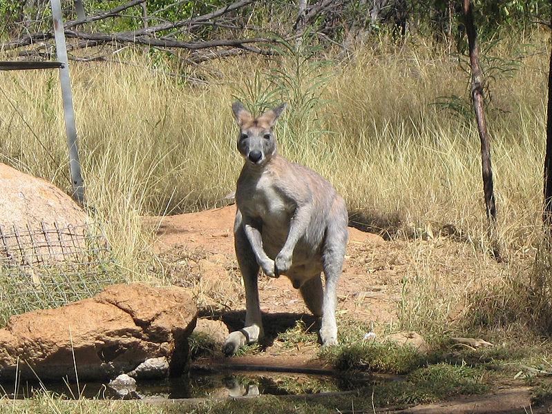 File:Macropus antilopinus.jpg