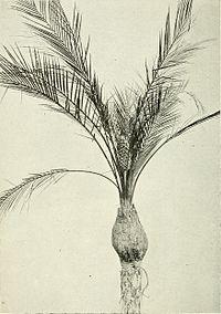 Macrozamia platyrhachis.jpg