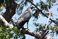 Madagascar harrier-hawk polyboroides radiatus.jpg