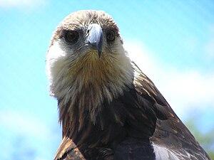 Madagascan fish eagle - Image: Madagascarfisheagle